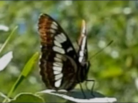 Slow Motion Butterflies - Casio EX-F1 Upscaled to 720p HD, An interesting collection of slow motion butterfly footage filmed with the Casio EX-F1, in and around Santa Clarita, California. Butterflies show here in ord...