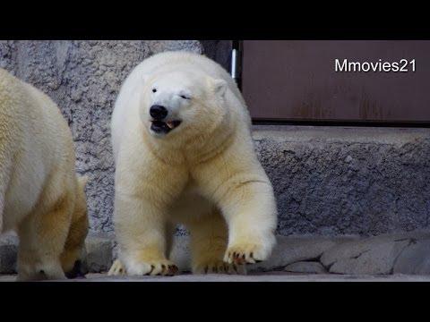 魚1匹ちょうだい~要領がいいポロロ〜Polar Bears are eating fish