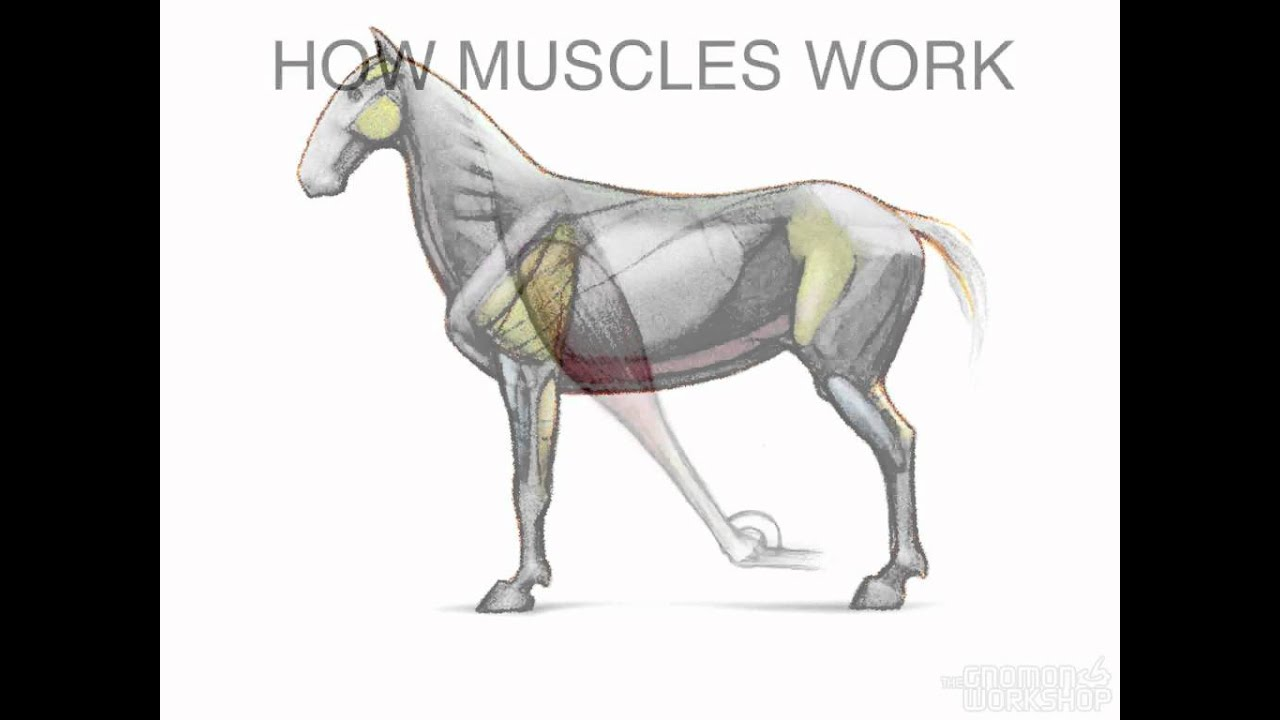 Equine anatomy muscles