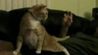 くすぐられると変な動きをする猫