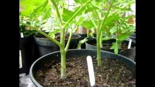 Poda perfecta y fácil del tomate