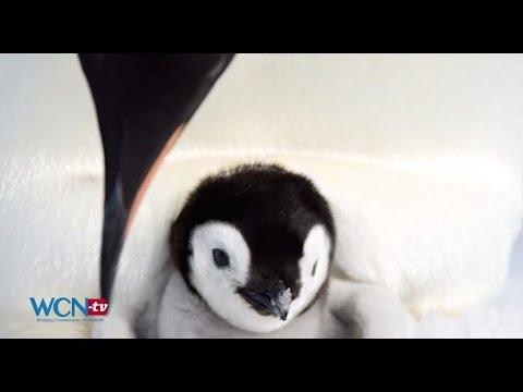 Climate Change Endangering Emperor Penguin, ENG