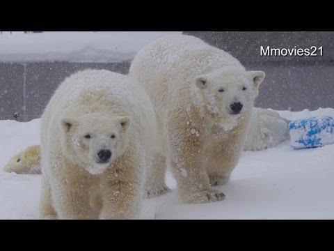 Polar Bears in blizzard〜猛吹雪のホッキョクグマ