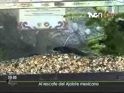 Al rescate del ajolote mexicano