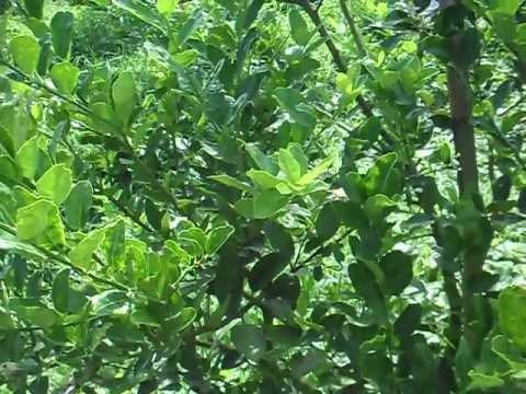มะนาวนอกฤดู 1.4 อาชญากรรมในสวนมะนาว