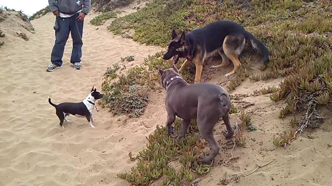 GERMAN SHEPHERD & PIT BULL FIGHT AT SF BEACH - YouTube