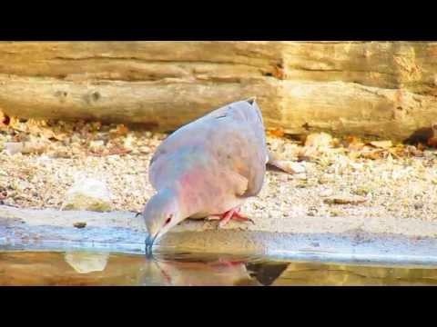 Juriti-pupu / White-tipped Dove (Leptotila verreauxi) bebendo água na caatinga