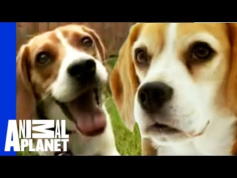 Beagle - YouTube, Watch More At: http://animal.discovery.com/videos/dogs-101-season-one/?smid=YTAPC-YTD-PLP This popular dog is a hound's hound.