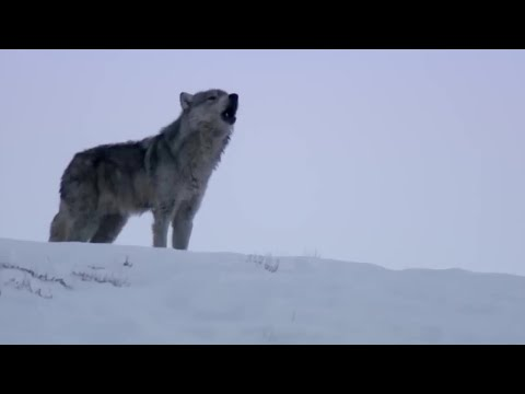 Wolves Unable to Separate After Sex! - Animal Attraction - BBC