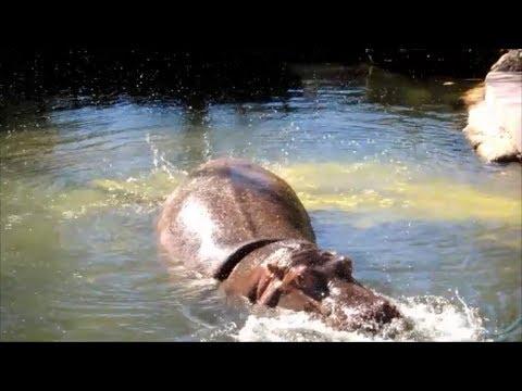 Hippo Explosive Diarrhea realmsundastood - Videos -
