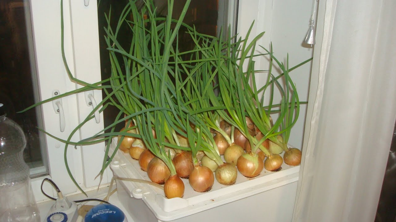 Все о выращивание зеленого лука из семян 757