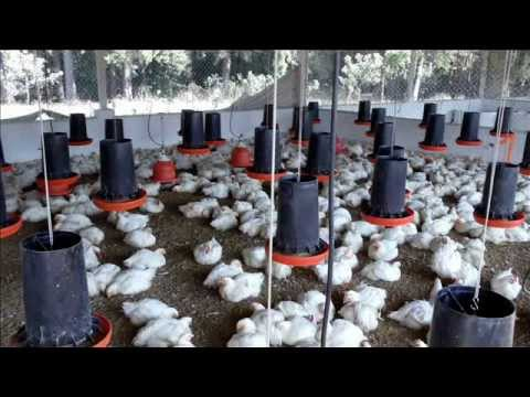 POLLO GRANJA EXPERIMENTAL.wmv