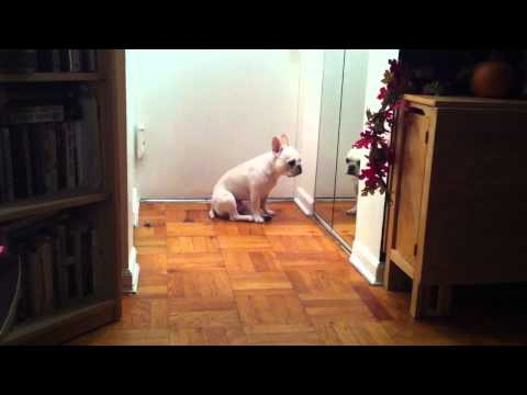 Sad French Bulldog Listens to Adele