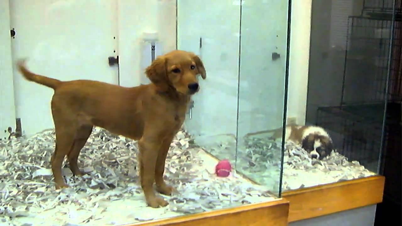 Golden retriever at pet store youtube - Petshop chaton ...