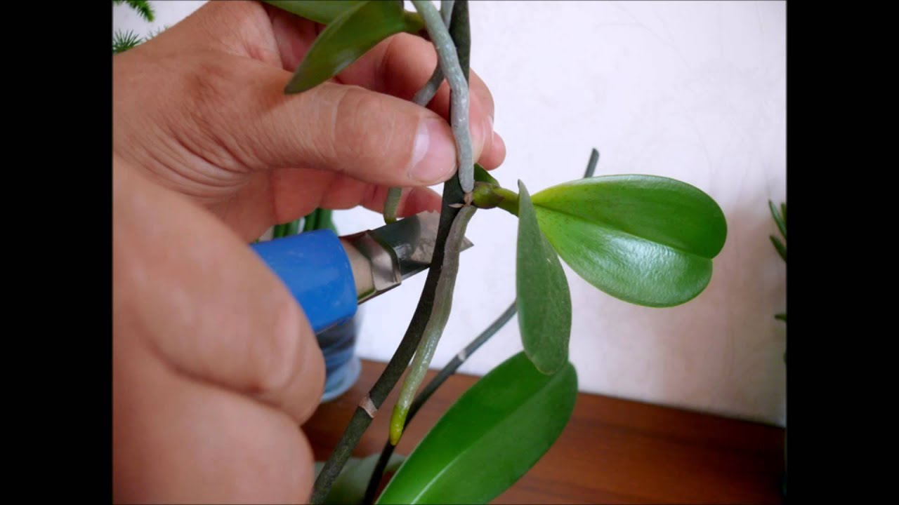 Уход и выращивание орхидей в домашних условиях размножение 21