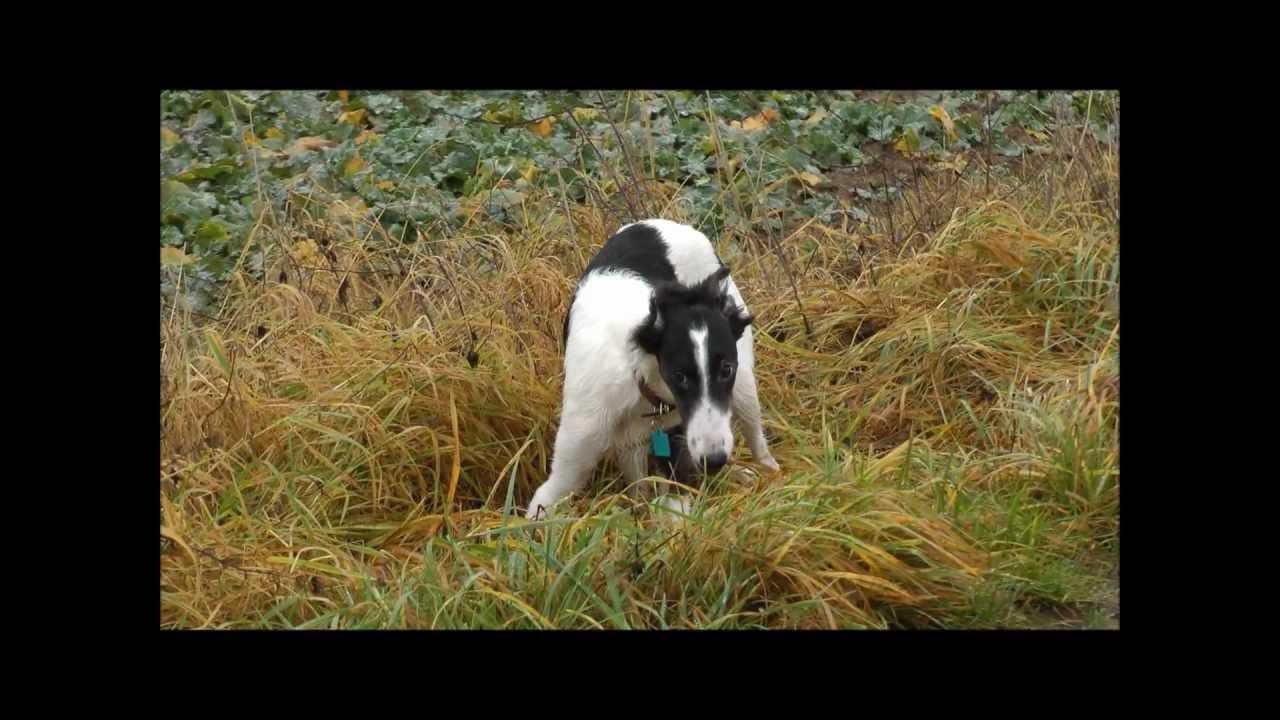 Silken Windhound Puppy...