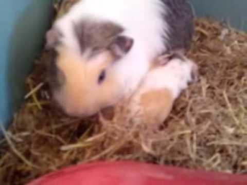 Baby Guinea Pigs Just Born | animalgals
