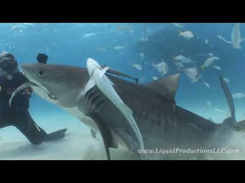 Tiger Sharks of Tiger Beach, Some of the most beautiful sharks in the ocean are found here, Tiger sharks, Lemon sharks, reef and the occasional hammerhead shark! I ventured out with the ...