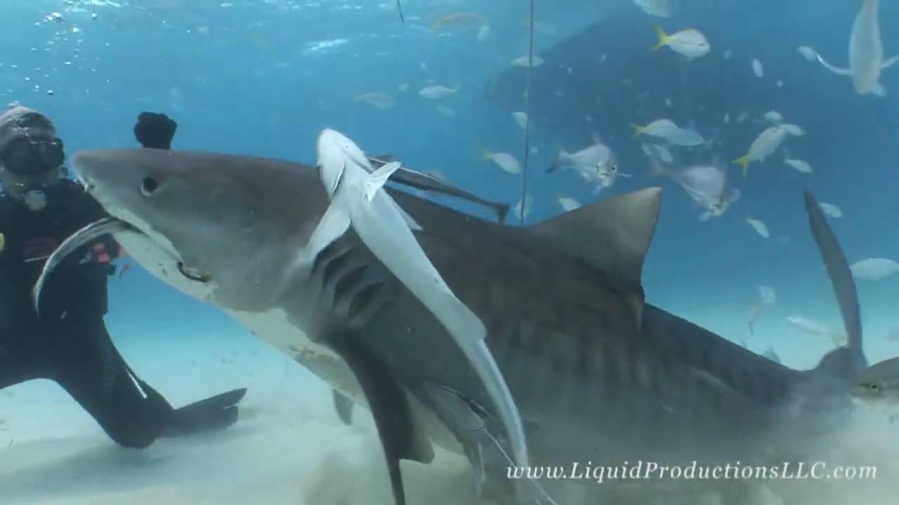 Tiger shark vs hammerhead shark - photo#1