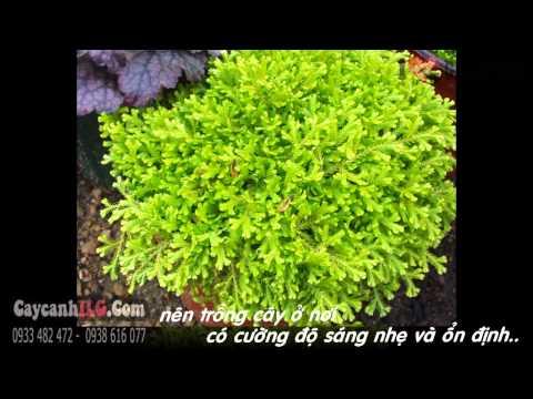 Hình Ảnh Cây Rêu