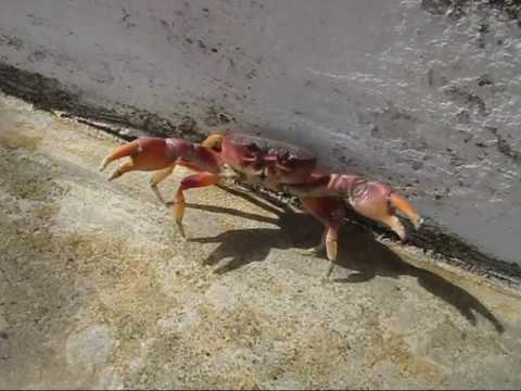 Puerto Rican Crab - YouTube