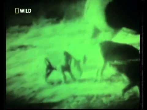 Sư tử đực cứu tê giác con khỏi đàn linh cẩu