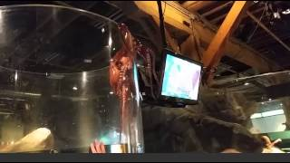 Octopus tries to escape tank at Seattle Aquarium Original