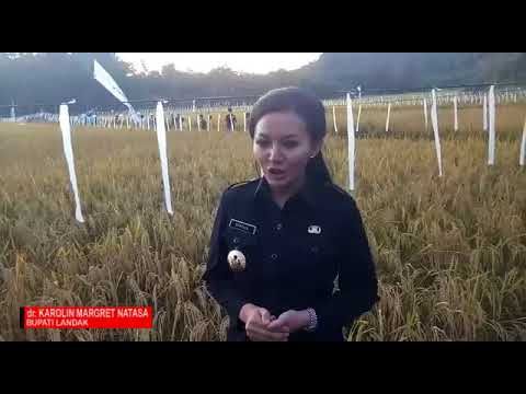 Bupati Karolin, Panen Raya bersama Kelompok Tani Rinyuankng di Kec. Sengah Temila, Kabupaten Landak