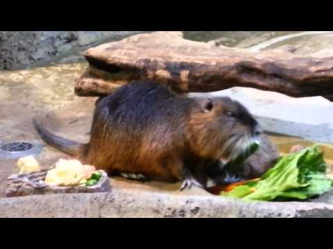 Nutria at Dubai Mall Underwater Zoo