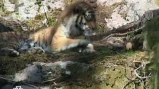 "Siberian (Amur) Tiger Vs Ussuri Brown Bear (""Black Grizzly"
