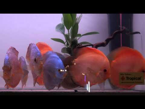 Vendor fish at the 2010 International Discus Championship, Duisburg Germany, Some video clips of discus for sale by various vendors at the International Discus Fish Show in Duisburg, Germany. The event is held every 2 years. You can p...