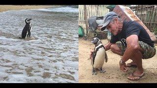 Chú chim cánh cụt vượt 8000km mỗi năm để thăm ân nhân lúc nhỏ