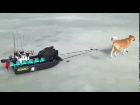 Dog pulling ice fishing sled youtube for Fishing license for disabled person