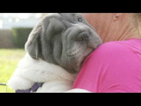 Shar Pei Puppy Loves Hugs!