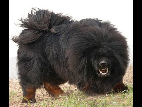 ... 10 Most Dangerous Dog Breeds | Most Aggressive Breeds 2014 - YouTube