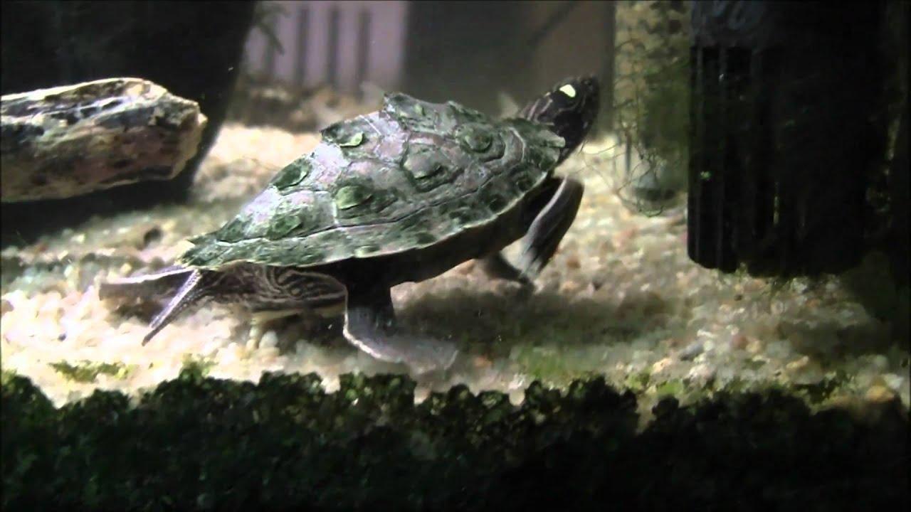 Turtle Fish Tank 55g 250L - YouTube