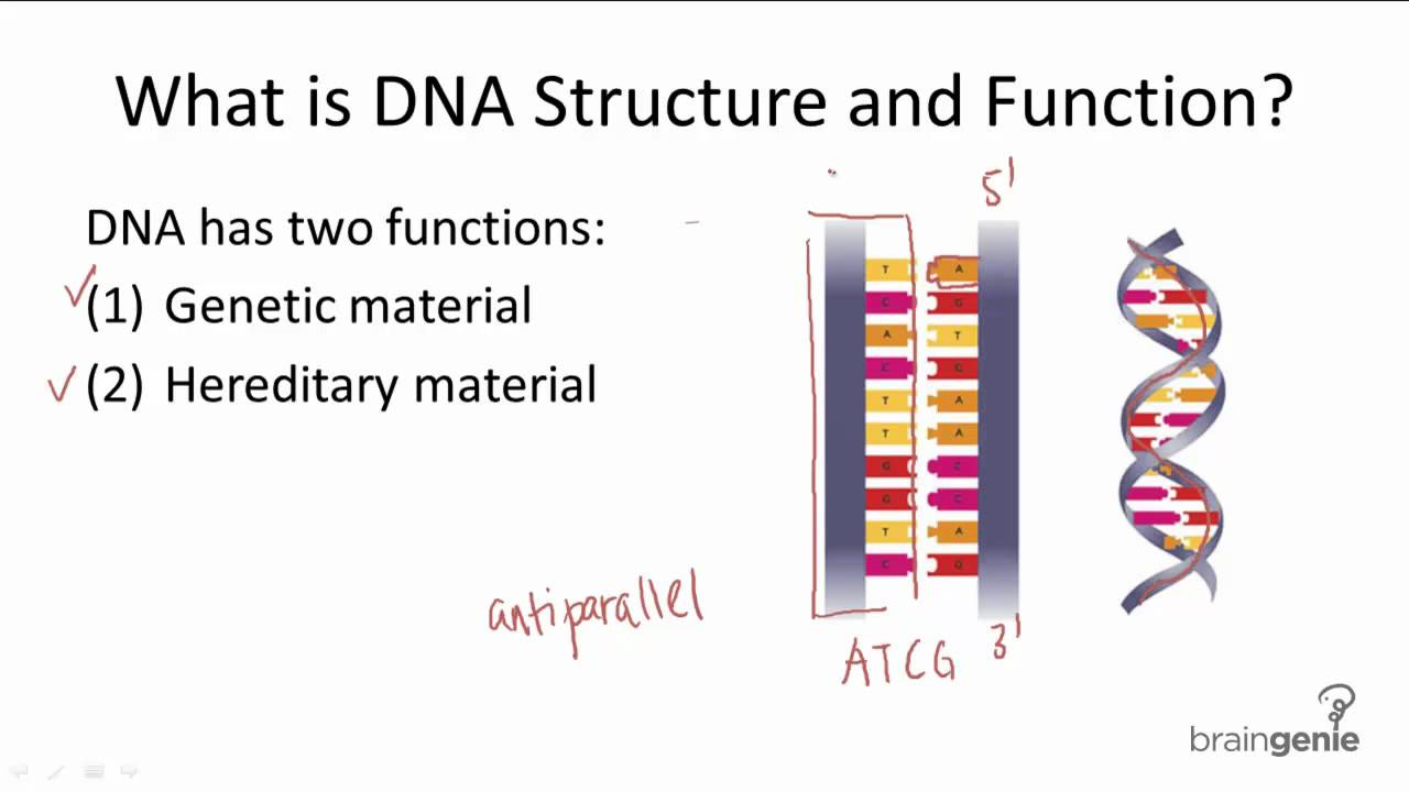 DNA Structure and Functions ( A Quick Revision ) | Biochemistry for ...