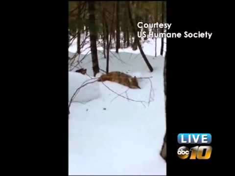 Coyote hunter's conduct called into question in Gogebic County