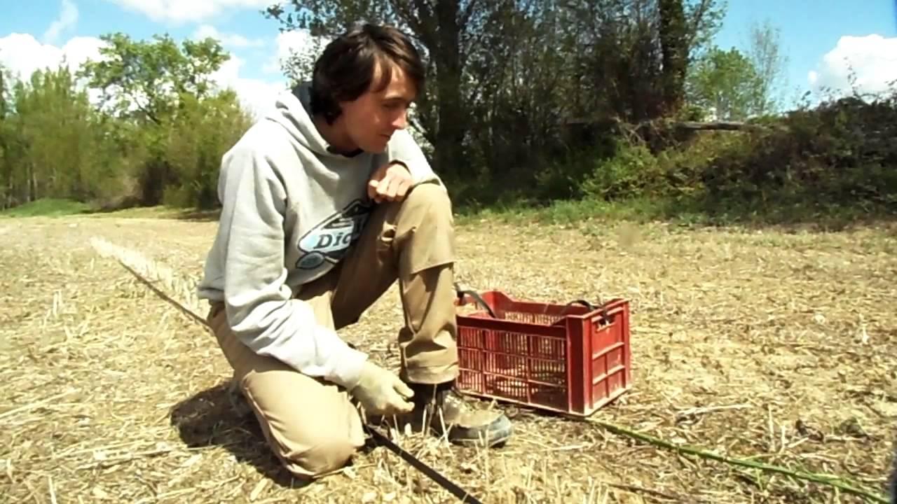 Comment ramasser des asperges youtube - Comment planter des asperges ...
