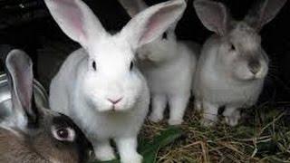 Cunicultura - Criar Conejos