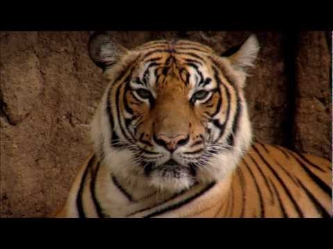 Confessions of a Tiger Poacher | WWF