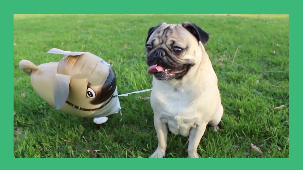 pugs pug the pug Pug rescue of florida rescues hundreds of pugs and pug mixes incurs over $200,000 annually in medical expenses to care for those pugs without your donations, pug rescue of florida cannot continue to save the pugs.
