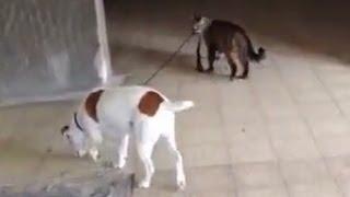 חתול מוביל כלב