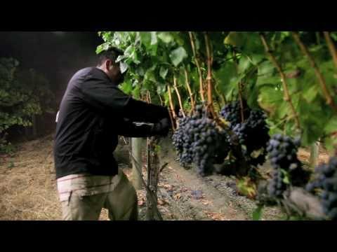 Night harvest, harvesting Merlot grapes for Jordan: Garden Creek Ranch, Alexander Valley