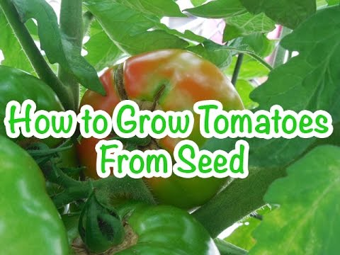 Container Gardening  How to Grow Tomatoes from Seed