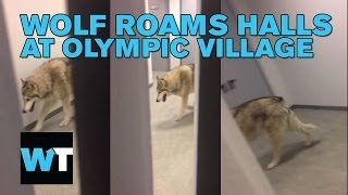 Wolf Roams the Hall at Sochi Olympic Village | What's Trending Now