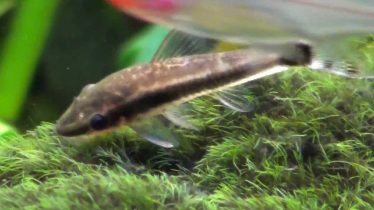 Oto catfish, dwarf suckermouth (Otocinclus Affinis), Close Up. HD ...