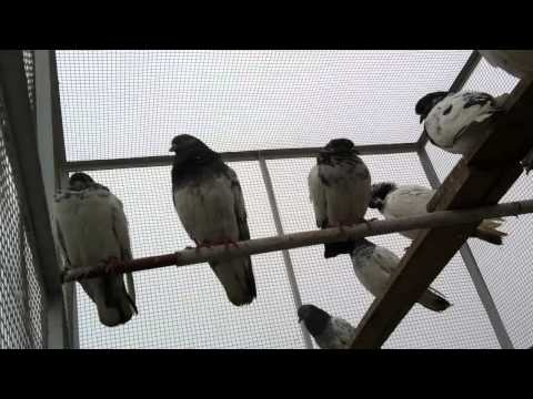 Ustad Chaudhary Junaid's Teddy Golden Pigeons VIDEO-00369-(0620)