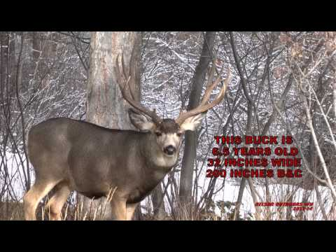 Mule deer bucks The ones that got away 2 2013 14