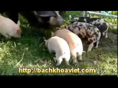 Lợn mẹ tham ăn hất bay cả con.